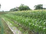 モロコシ畑.jpg